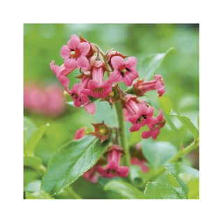 Escallonia (ESCALLONIA RUBRA VAR.MACRANTHA), en pot de 3 litres 57808