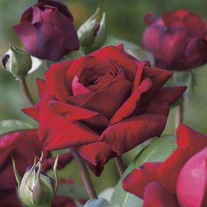 Rosier Ingrid Bergman® Le pot de 3 litres 57934