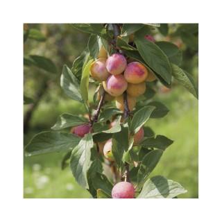 Prunier mirabelle de nancy forme gobelet botanic - Prunier mirabelle de nancy ...