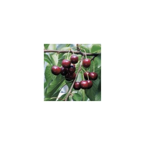 Cerisier Bigarreau Reverchon forme gobelet 58648