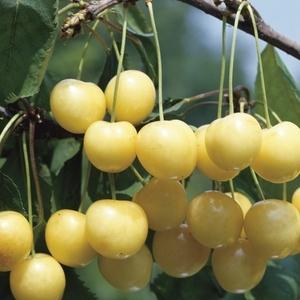 Cerisier Bigarreau Starck Gold ® forme 1/2 tige 59739