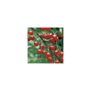 Cerisier Griotte de Montmorency forme 1/2 tige 59742