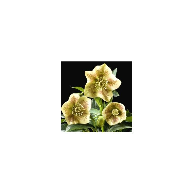 Hellébore (ou Rose de Noël) JAUNE PONCTUÉ - Le pot de 1 litre 525897