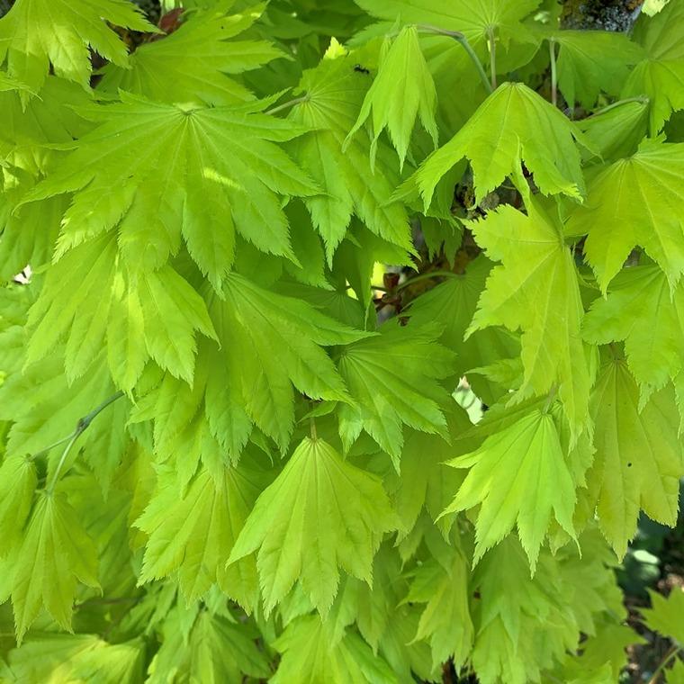 Érable du Japon Shirasawanum Aureum Moon nain. Le pot de 30 litres 525998