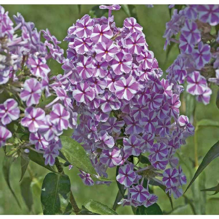 Phlox Maculata Rose Et Blanc. Le pot de 9 x 9 cm 527536