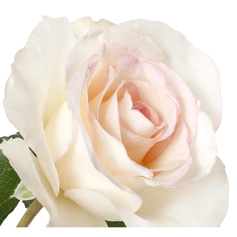 Rosier buisson Niharika®, le pot de 5 L. 528732