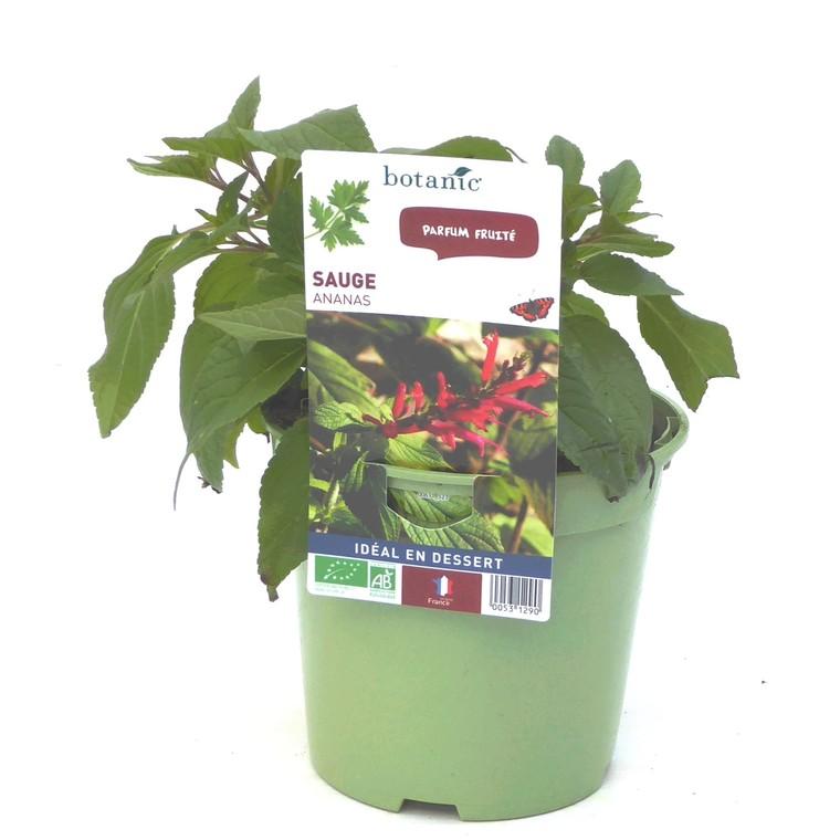 Sauge Ananas bio. Le pot de 1 litre recyclé 53129