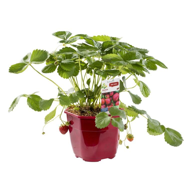 Fraisier remontant Ruby Ann bio en pot décoratif de 2,5 L 533876