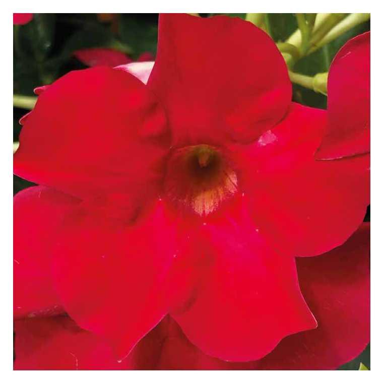 Dipladenia Early Scarlet. Le pot de 9 x 9 cm 534023