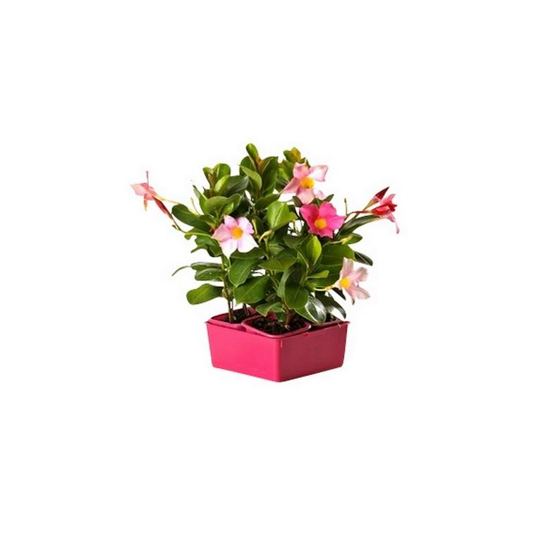 Dipladenia Rose. La barquette de 4 plants 534309