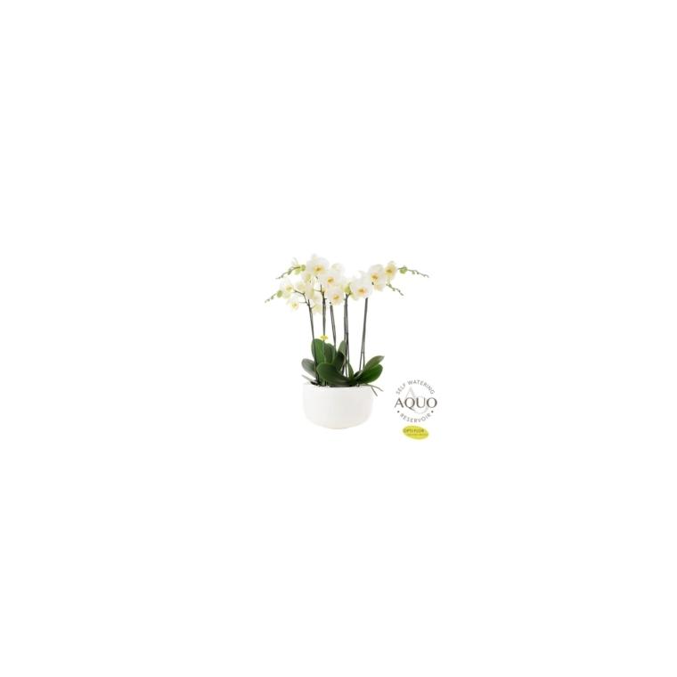 Composition d'orchidées premium botanic® - Pot Ø33 cm 534384