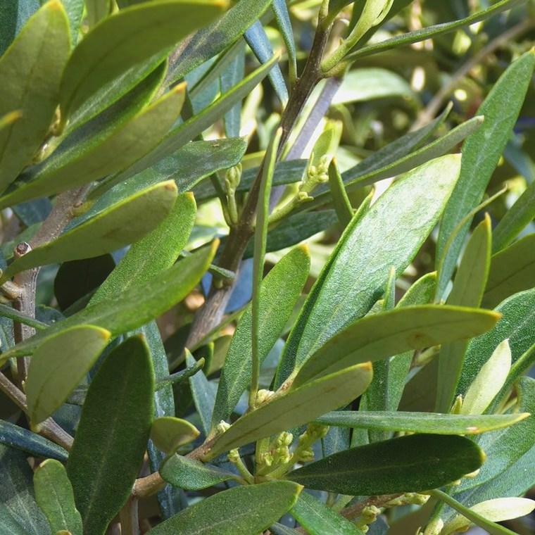 Olea Europaea ou Olivier Pompon Vieux tronc en conteneur 535060