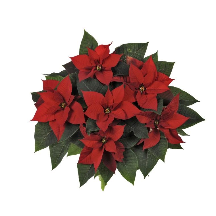 Poinsettia pailleté rouge la coupe Ø 27 cm 536258