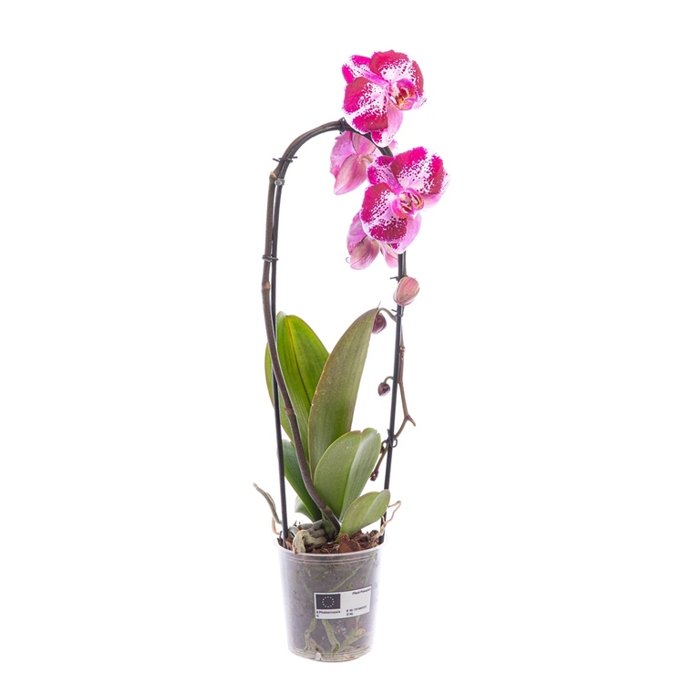 Orchidée Phalaenopsis Cascade Mix pot Ø12 cm/ H65 cm 560171