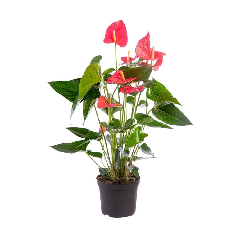 Anthurium Pandola pot Ø17 cm/ H60 cm 560695