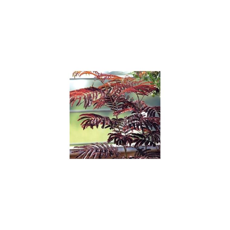 Albizia Summer Chocolat® 561191