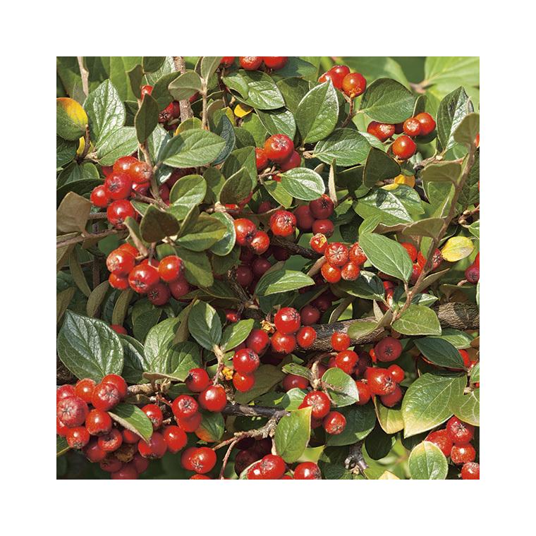 Cotoneaster de Franchet – Pot de 7L 57797