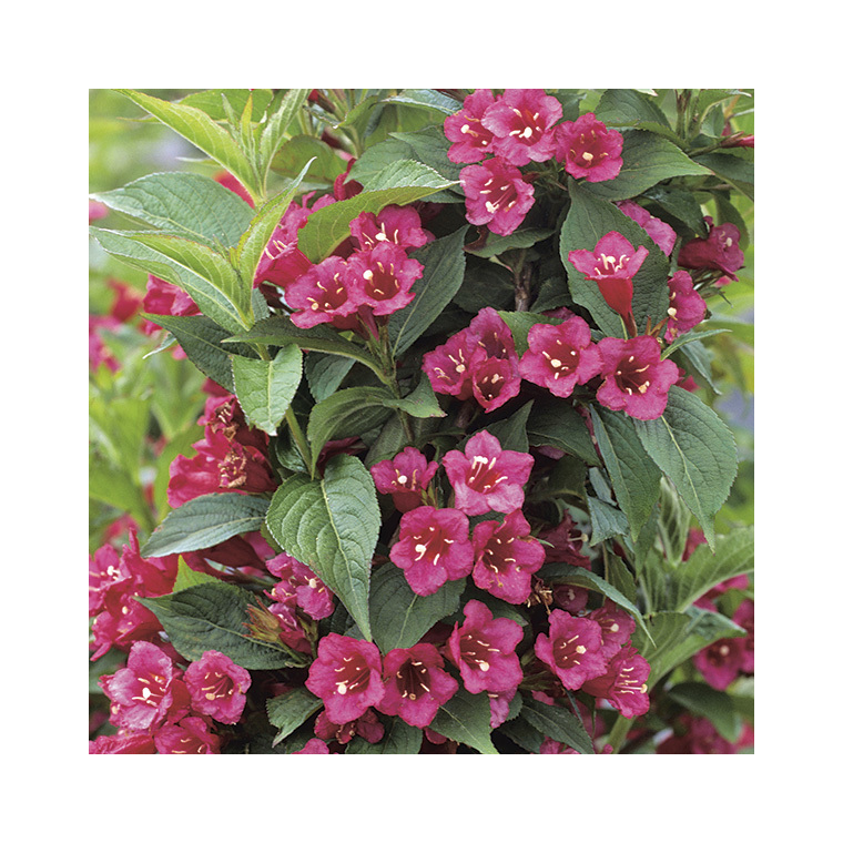 Weigelia rouge – Pot de 7L 57845