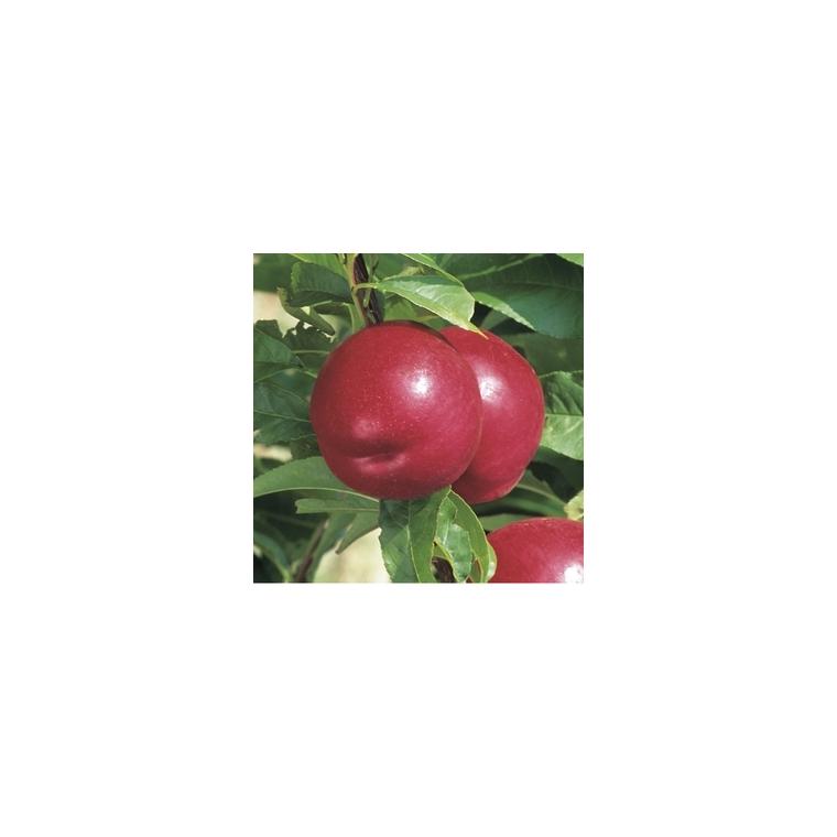 Nectarinier Nectared 6 ®. En racine nue, forme 1/2 tige 58671