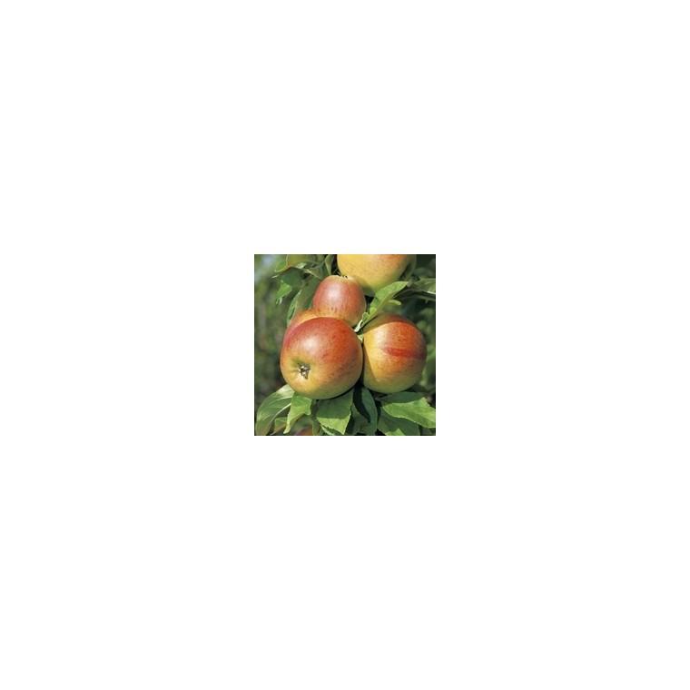 Pommier Reine des Reinettes forme palmette UD 59723