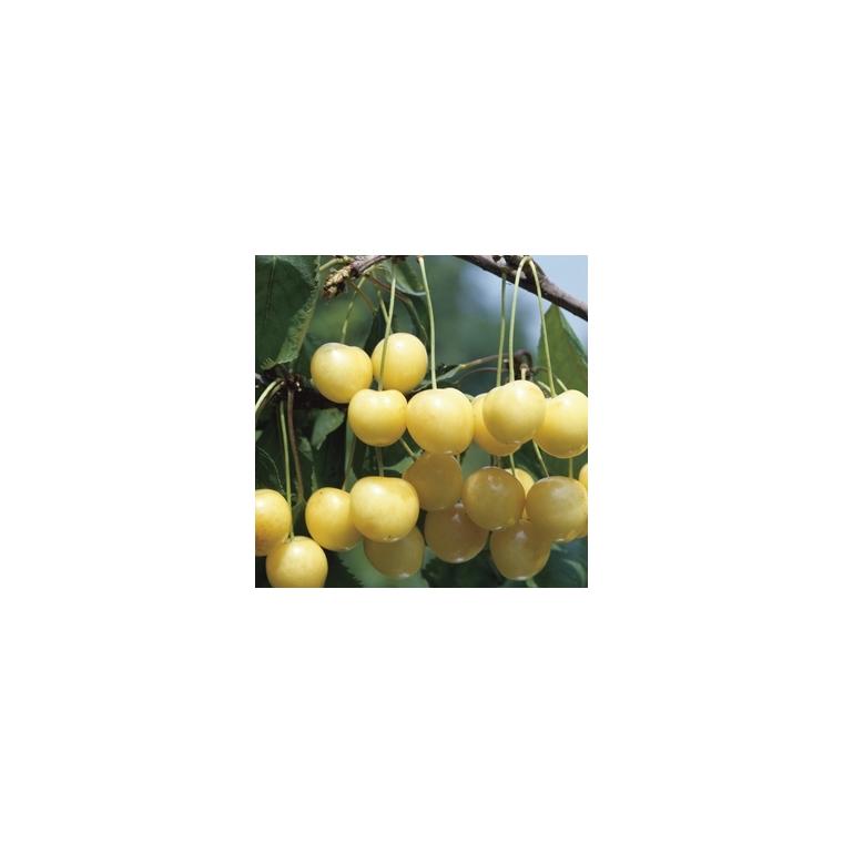 Cerisier Big. Starck Gold. En racine nue, forme 1/2 tige 59739