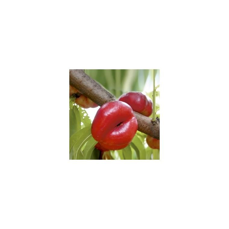 Nectarinier Mesembrine forme gobelet 59747