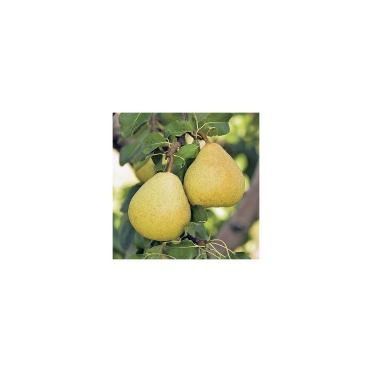 Poirier Delbardelice ®Delété forme gobelet 59756