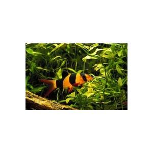 Botia macracantha 654120