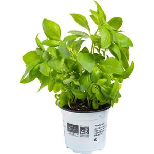 Basilic bio prêt à cuisiner Ø 9-12 en pot de 10,5 cm 611519