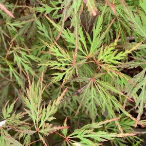 Erable du Japon (Acer Palmatum) Orangeola. Le pot de 4,5 litres 615163