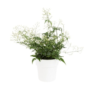 Jasmin blanc d'hiver (JASMINUM POLYANTHUM) ø12 X H30 cm 615399