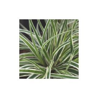Carex Oshimensis Everest vert en pot de 2 L 615485