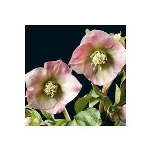 Helleborus Orientalis Rose. Le pot de 1 litre 61597