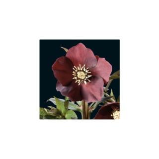 Helleborus Orientalis Rouge Fonce. Le pot de 1 litre 61602