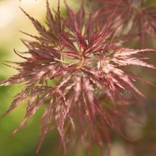 Erable du Japon (Acer Palmatum) Tamukeyama tige. Le pot de 110 litres 624378