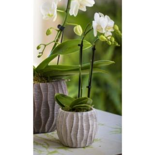 Phalaenopsis avec cache-pot Ø 6 cm 626825