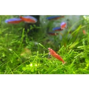 Crevette Red Cherry 2 cm 628151