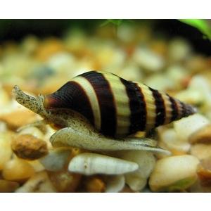 Escargot anentome helena mangeur d'escargot m.1,5 cm 628179