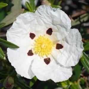 Cistus Blanc. Le pot de 9x9 cm 629188