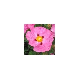Cistus Rose. Le pot de 9x9 cm 629189