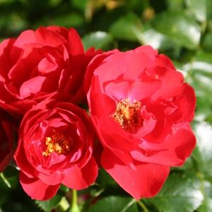 Rosier Kadora rouge tige – Pot de 10L 629829
