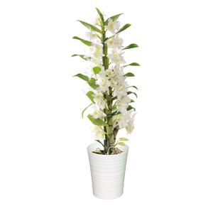 Dendrobium 2 branches 45 cm avec cache pot blanc en céramique Ø 12 cm 630319