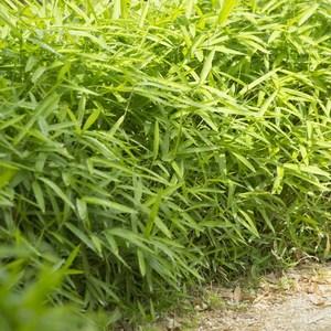 Bambou nain. Le pot de 3 litres 631918