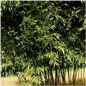 Bambou (BAMBOU PHYLLOSTACHYS BISSETI) Le pot de 35 litres 633904