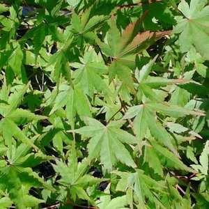 Acer Palmatum - Pot de 50L 634105