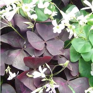 Oxalis rose trèfle à 4 feuilles en pot de 4,5 L 635723