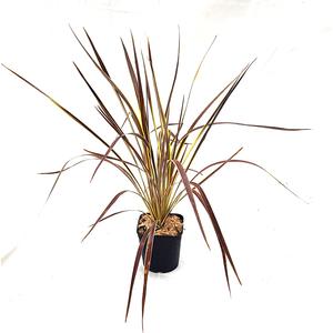 Cordyline Australis Electric Flash marron en pot de 3 L 635941