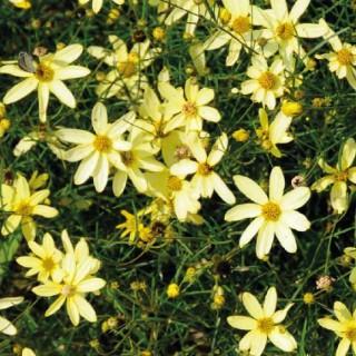 Coreopsis Verticillata jaune en pot de 4 L 635949