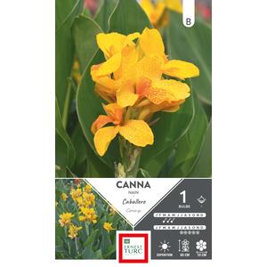 Bulbe de Canna demi nain Caballero jaune 636114