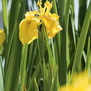 Iris des marais pot de 3 litres 637257